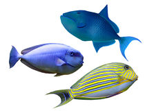 Tropical reef fish. Colection  Tropical reef fish - isolated Royalty Free Stock Photo
