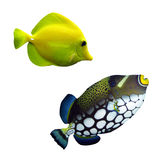Tropical reef fish. Colection  Tropical reef fish - isolated Royalty Free Stock Image