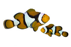 Tropical reef fish amphiprion. Isolated Stock Photos