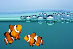 Tropical reef fish - Clownfish. Royalty Free Stock Photo