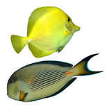 Tropical reef fish isolated. Two isolated small marine fish Stock Photos