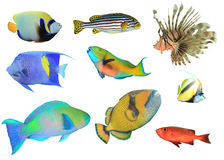 Tropical Reef Fish isolated Royalty Free Stock Photos
