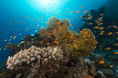 Tropical reef and fish in the Red Sea. Royalty Free Stock Image