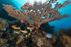 Tropical reef and fish in the Red Sea. Stock Image