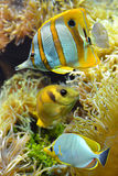 Tropical reef fish. Underwater photo Royalty Free Stock Photos