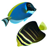 Tropical reef fishs isolated. Isolated fishs on a white background Royalty Free Stock Images