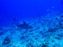 Tropical Reef with Hammerhead Sharks and Fish royalty free stock photography