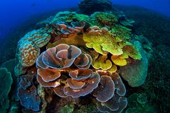 Tropical Reef with Hard Corals, Losin, Thailand royalty free stock photo