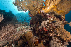 Tropical reef in the Red Sea. Stock Photography
