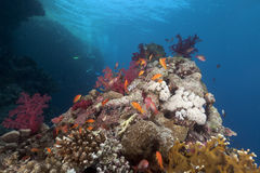Tropical reef in the Red Sea. Royalty Free Stock Images