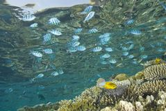 A tropical reef scene with fish reflections. Royalty Free Stock Photo