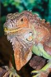 Tropical reptile Iguana. Tropical exotic reptile Iguana on green background Stock Photos