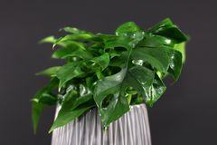 Tropical `Rhaphidophora Tetrasperma` house plant on black background, mistakenly also called `Mini Monstera`