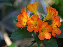 Tropical Rhododendron flowers. Closeup of blossom from Tropical Rhododendron, Vireya Stock Photography