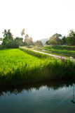 Tropical rice field Stock Photo