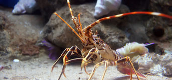 Tropical Rock lobster under water. Colourful Tropical Rock lobster under water, aquarium Barcelona Stock Image