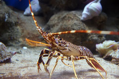 Tropical Rock Lobster Under Water Stock Photos