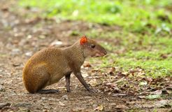 Tropical rodent Dasyprocta leporina. In state Panama Stock Images