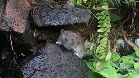 A tropical rodent sniffing for food. A rat emerging from its rocky home at a fish pond on bequia stock footage
