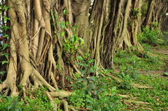 Tropical roots, ficus tree forest growth. Royalty Free Stock Photos