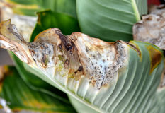 Tropical rot leaf Royalty Free Stock Image