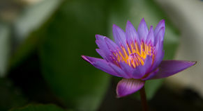 Tropical roxo waterlily Fotos de Stock Royalty Free