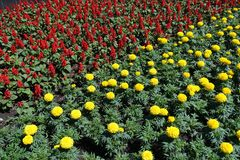 Tropical sage and Mexican marigolds in bloom. Tropical sage and Mexican marigolds in full bloom stock image
