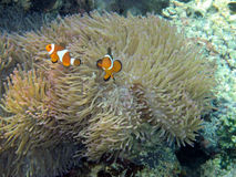 Tropical Saltwater Anemonefish or Clown fish. A view of a tropical seabed with anemonefish or clown fish in their natural habitat Royalty Free Stock Image