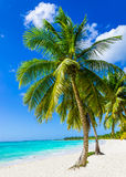 Tropical sandy beach with exotic palm trees. Against blue sky and azure water in Caribbean Island Stock Image