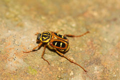 Tropical scarab beetle. Tropical bug sitting on a stone royalty free stock photos
