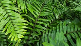 Green ferns background like in tropical forest. A tropical scene of fern forest. Like the tropical rain forest Royalty Free Stock Photography