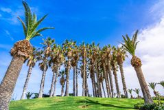 Tropical scene of a group of palm trees on grass, Crete. Tropical scene of a group of palm trees on grass, Crete, Greece Royalty Free Stock Images