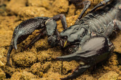 Tropical Scorpion in Thailand Royalty Free Stock Images