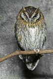 Tropical Screech Owl, Megascops choliba, perched Stock Photos