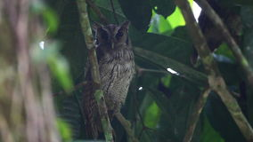 Tropical Screech Owl, Megascops choliba, roosting stock video