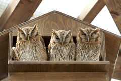 Tropical Screech Owl Royalty Free Stock Image