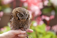 Tropical Screech Owl Stock Images