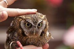 Tropical Screech Owl Royalty Free Stock Photo