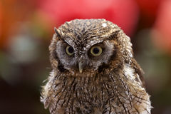 Tropical Screech Owl Royalty Free Stock Images