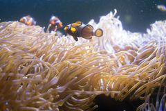 Tropical sea anemone and clown fish Amphiprion percula Stock Image