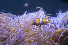 Tropical sea anemone and clown fish Amphiprion percula Royalty Free Stock Images