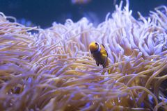Tropical sea anemone and clown fish Amphiprion percula Royalty Free Stock Photos