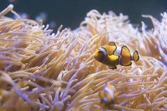 Tropical sea anemone and clown fish Amphiprion percula. In marine aquarium royalty free stock photo