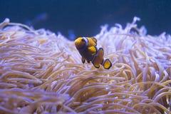Tropical sea anemone and clown fish Amphiprion percula. In marine aquarium stock photo