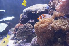 Tropical sea anemone and clown fish Amphiprion percula Stock Images