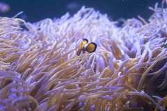 Tropical sea anemone and clown fish Amphiprion percula Royalty Free Stock Image