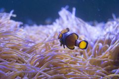 Tropical sea anemone and clown fish Amphiprion percula Stock Photos