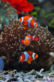 Tropical Sea Clown Fishes Royalty Free Stock Photography