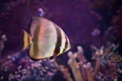 Tropical sea fish in aquarium Stock Photography