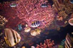 Tropical sea fish in aquarium Royalty Free Stock Photography